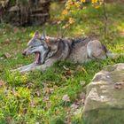 """""""Müder Wolf"""""""