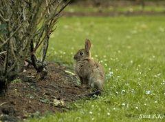 müdes Kaninchen