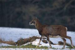 Mufflon Schaf