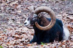 Mufflon-Widder im Tierpark Olderdissen