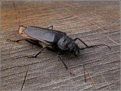 Mulmbock (Ergates faber) ...Weibchen
