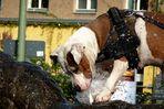 Multitasking auch beim Hund: Durst und Spiel