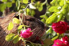 Mummel mag Rosen :-)