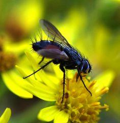 Mundane Fly