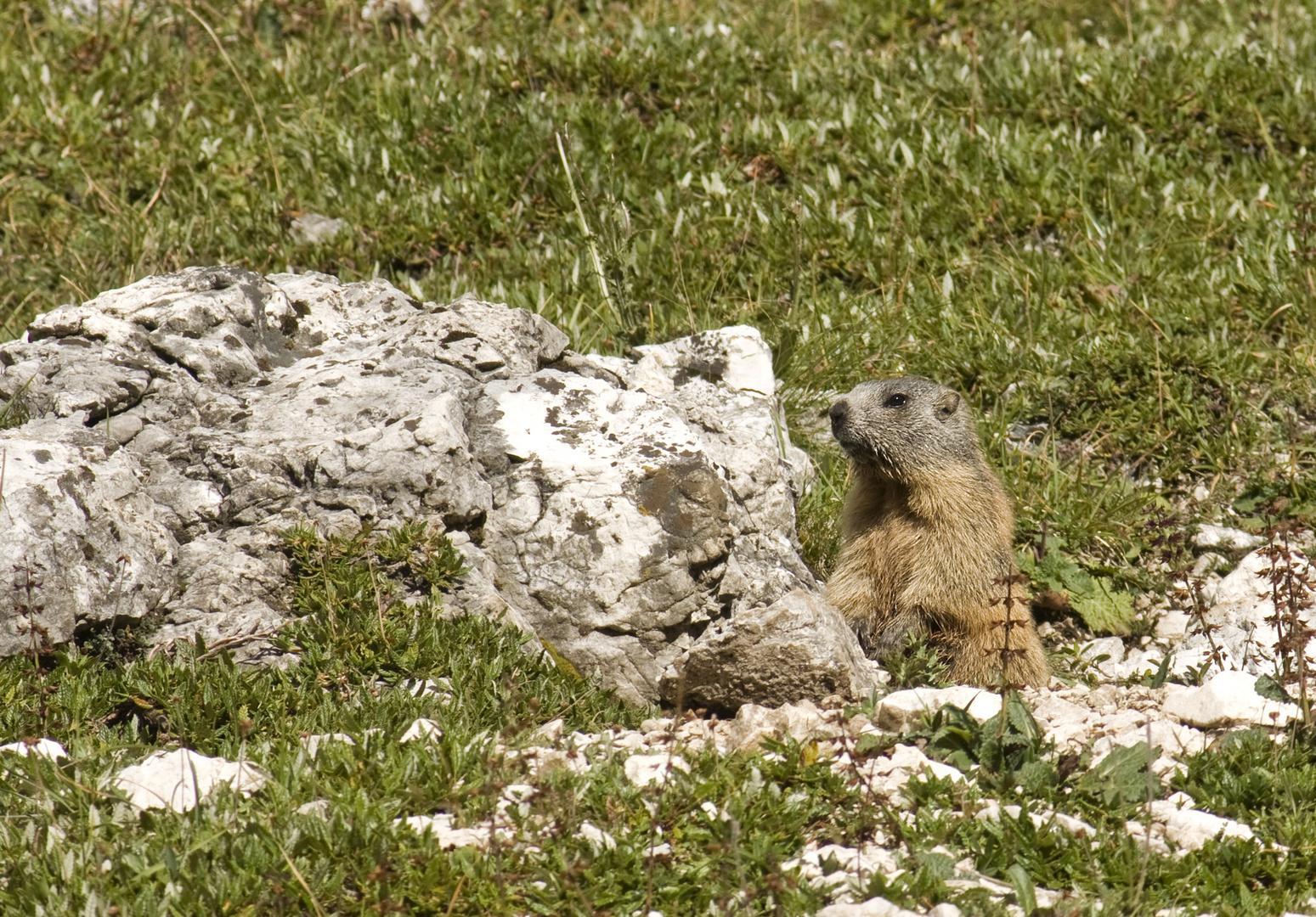 Murmeltier auf der Alm entdeckt