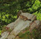 Murmeltier aus dem Wallis