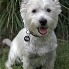 Murphy als Fotomodell (West Highland White Terrier)