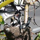 Murray magpie chicks