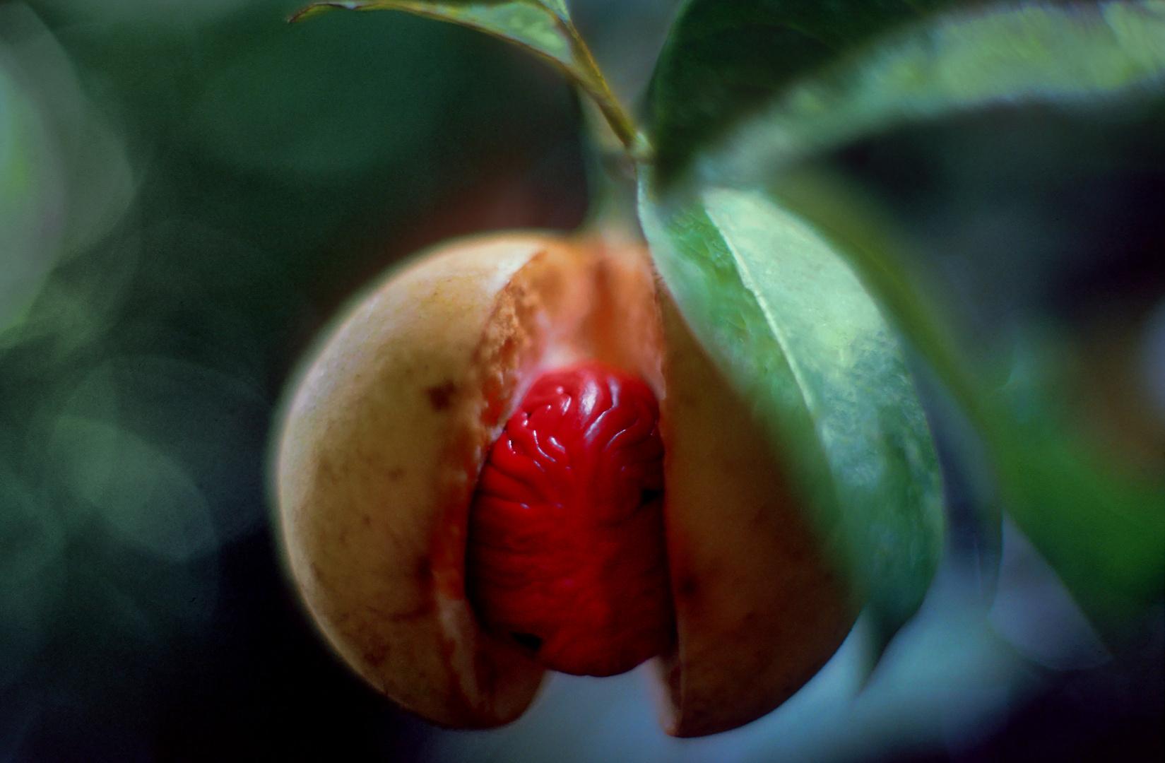 Muscatnuss