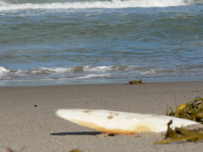 Muschel an der dänischen Nordseeküste