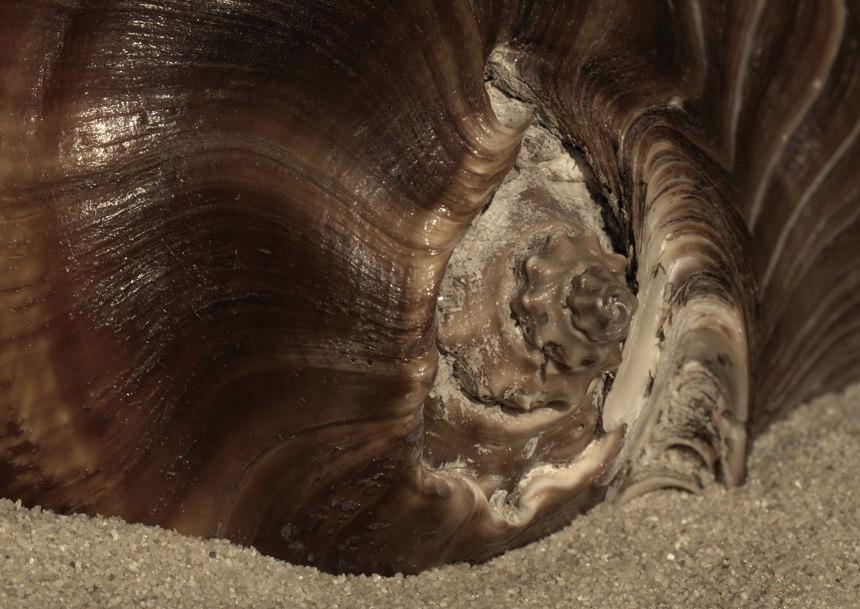 Muschel von links