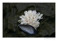 Muschelbusch am Strand
