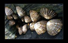 Muscheln aus Cadgwith- Cornwall