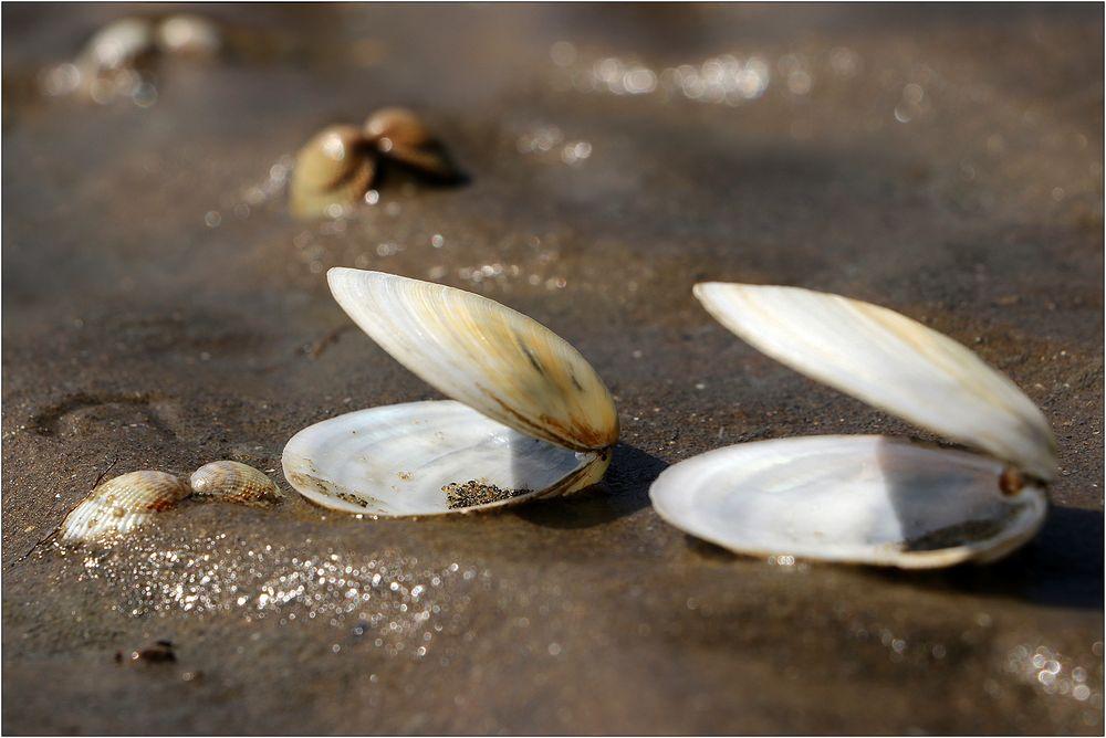 Muscheln im Watt