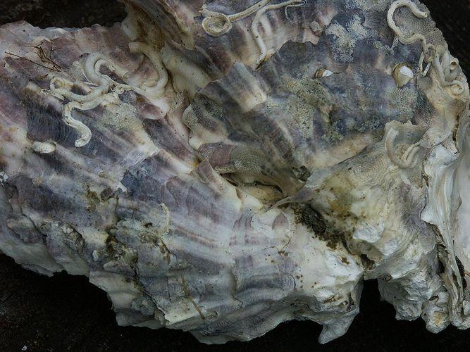 Muschelschalen