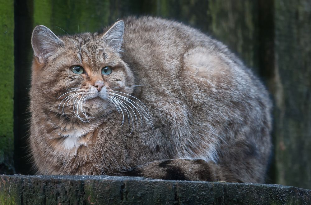 Muschi Foto & Bild | tiere, zoo, wildpark & falknerei