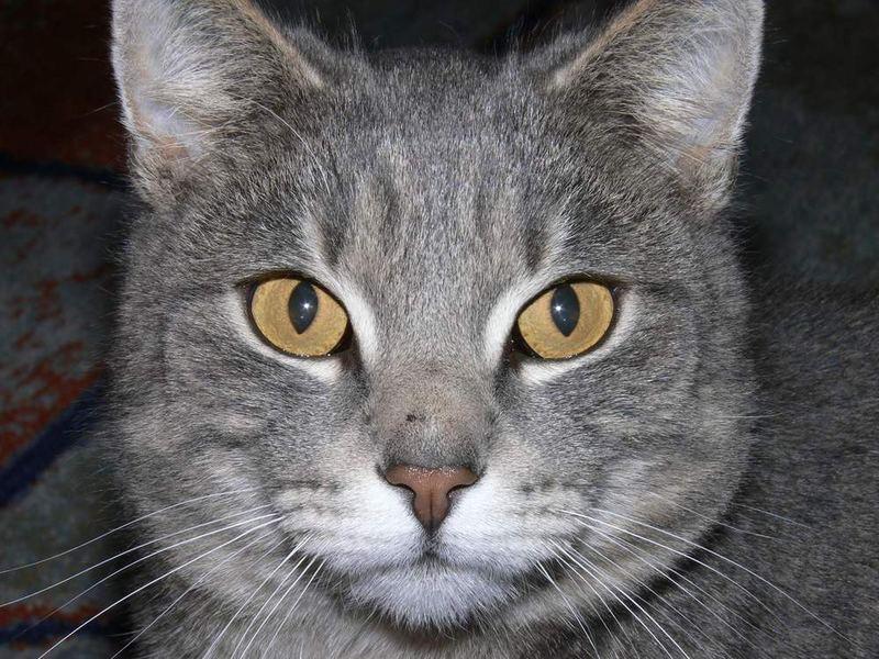 Muschi ganz nah Foto & Bild   tiere, haustiere, katzen