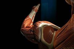 Musculus biceps brachii