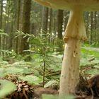 mushroom in bucium romania