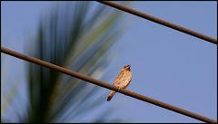 Muskatbronzemännchen (Lonchura punctulata)