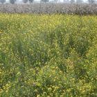 Mustard & Cotton Field