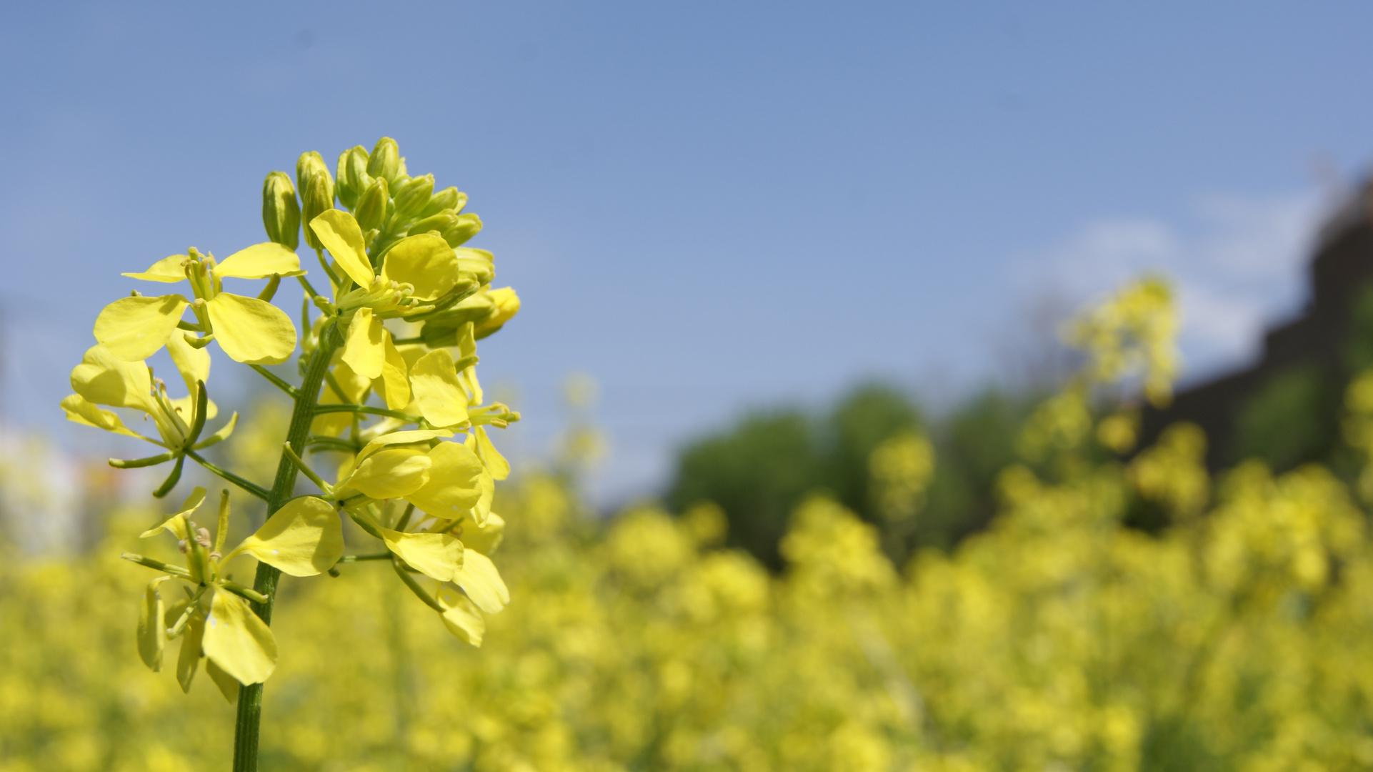 Mustard, la mirada del cielo en tierra