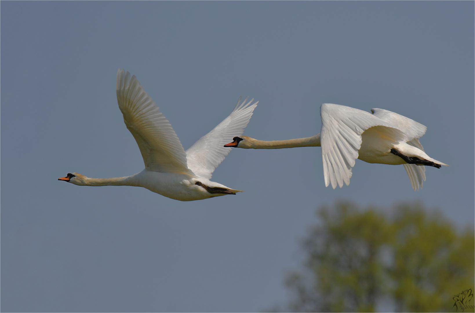 Mute swans in flight ..