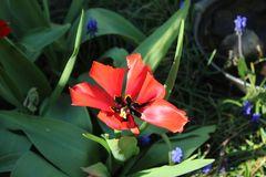 mutierte Tulpenform