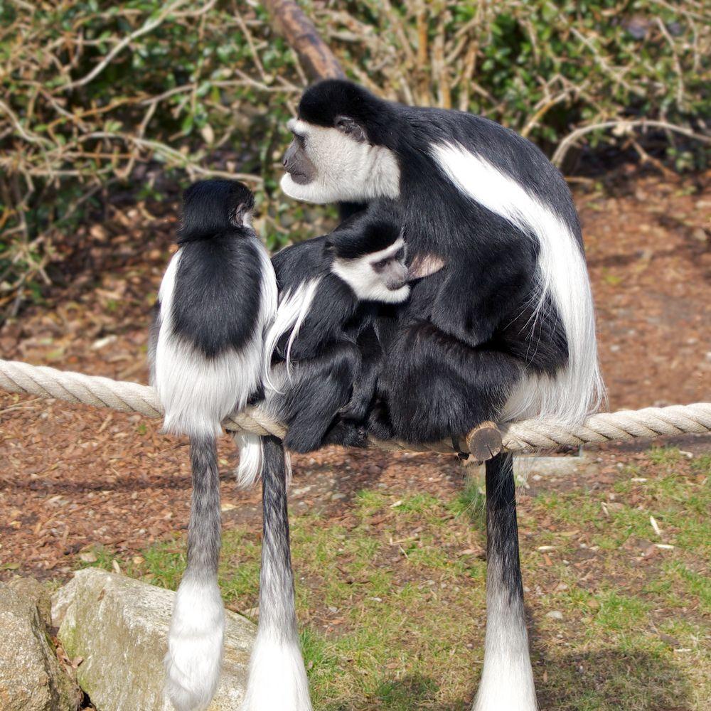 Mutter-Kind-Idylle bei Guerezas