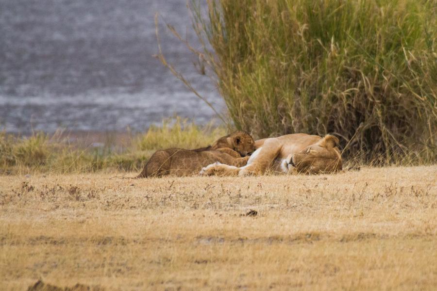 Mutter Löwin säugt ihre Jungen