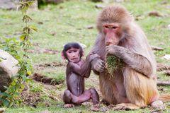 Mutter und Kind aus der Paviangruppe des Osnabrücker Zoos