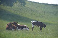 Mutter und Kinderkuhwiese, der Stier steht schon in den Starlöchern!!!