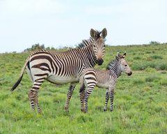Mutter und Tochter Bergzebra