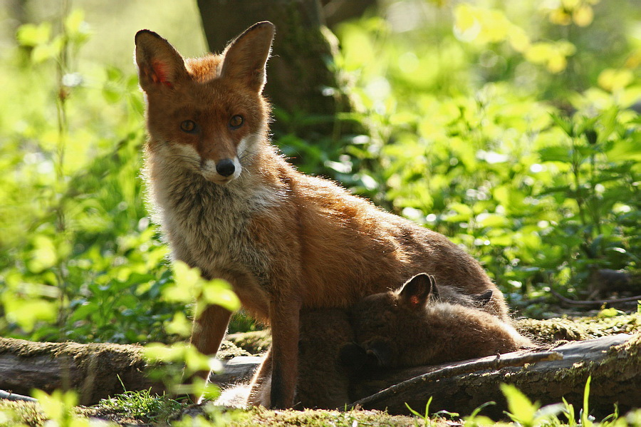 Mutterglück am Fuchsbau...