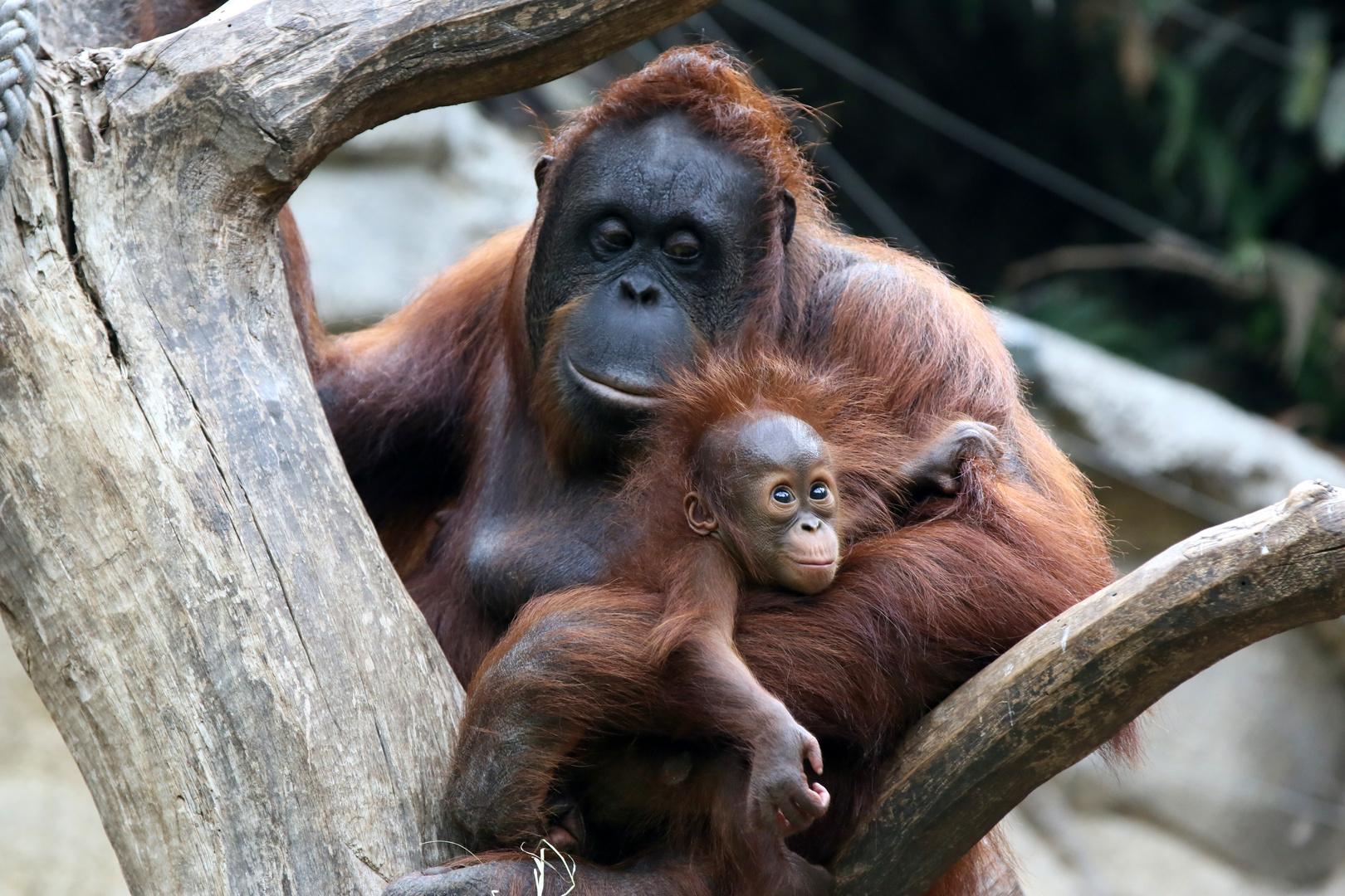 Mutterglück bei Orang Utans
