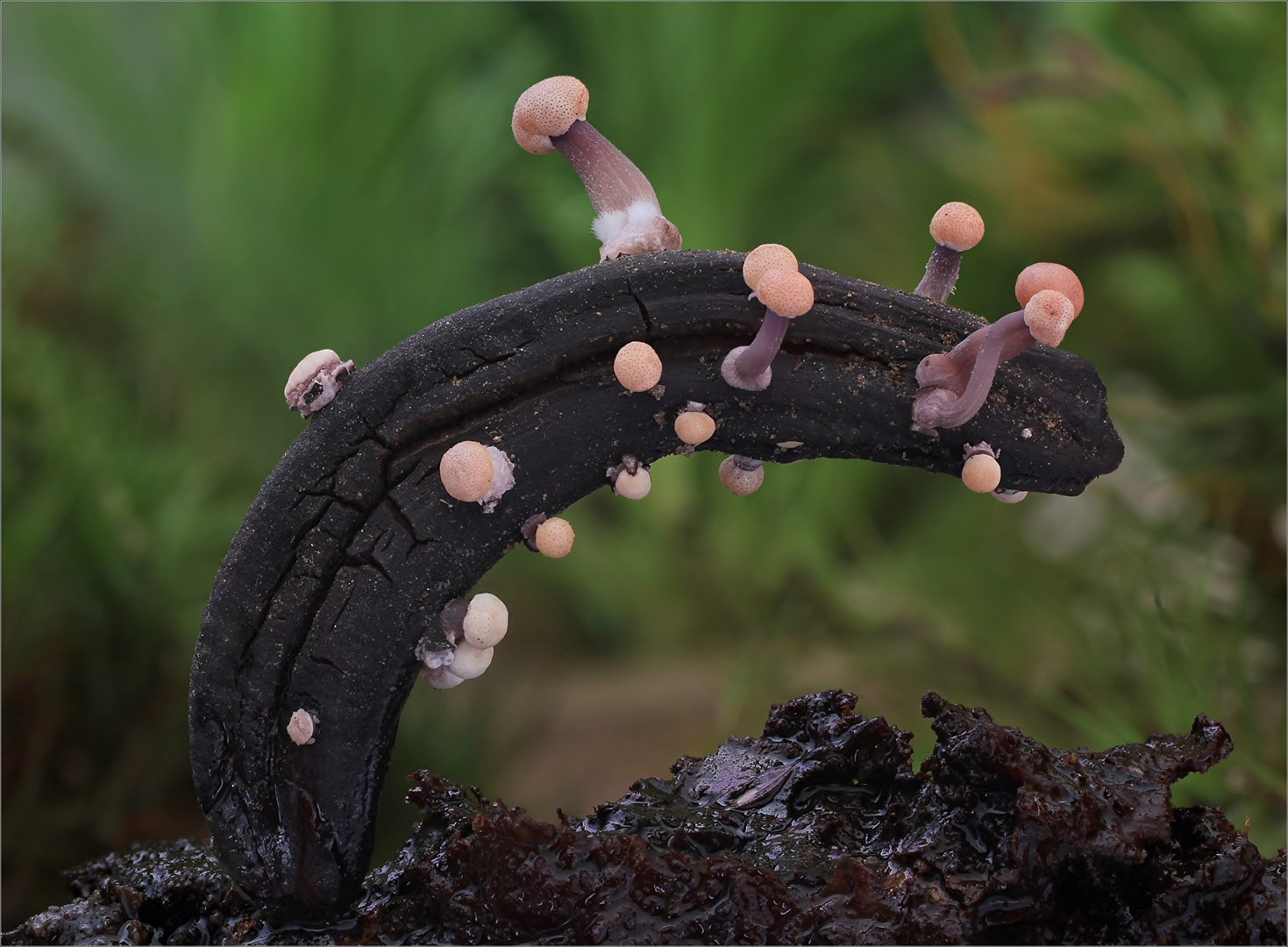 Mutterkorn-Sklerotienkeulchen (Claviceps purpurea) 4