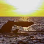 Mutterwal mit Kind und aufgeschreckter Möwe