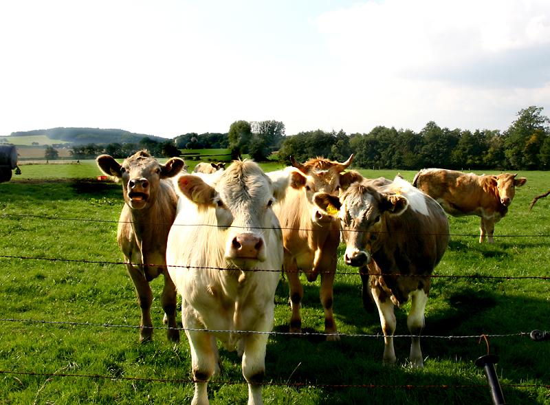 Mutual Cow-Bank