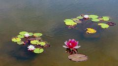 MW 2018.06.11. Seerosen  water lily   nénuphar  nenúfar  ninfea