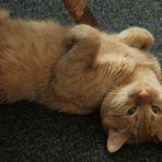 my apricot cat  Alex