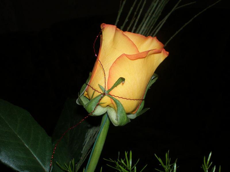 my birthday´s rose 2