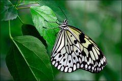 [ My Butterfly ]