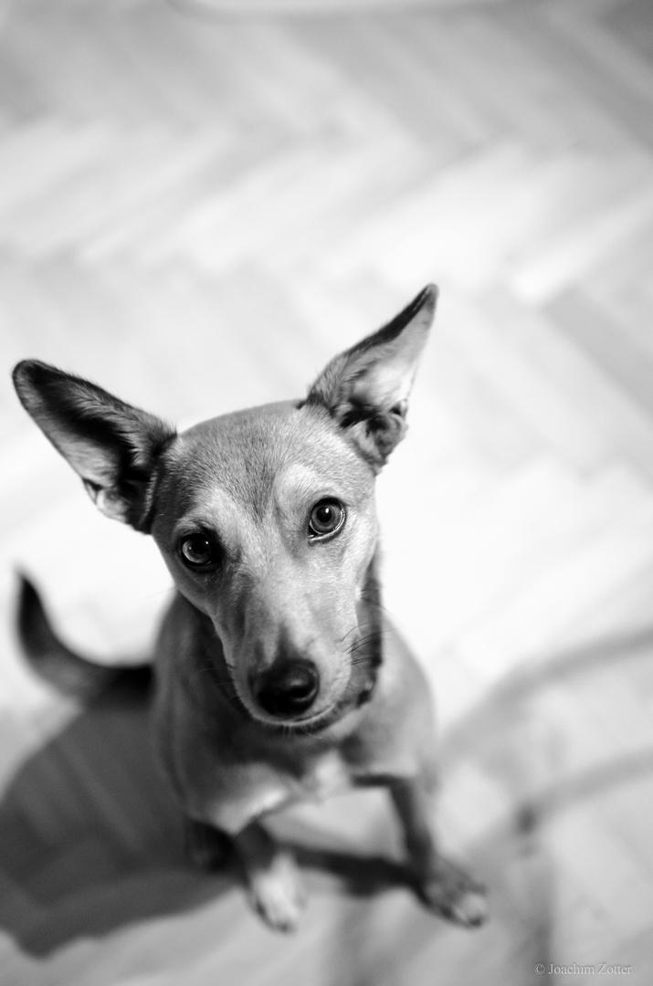 my dog with long ears