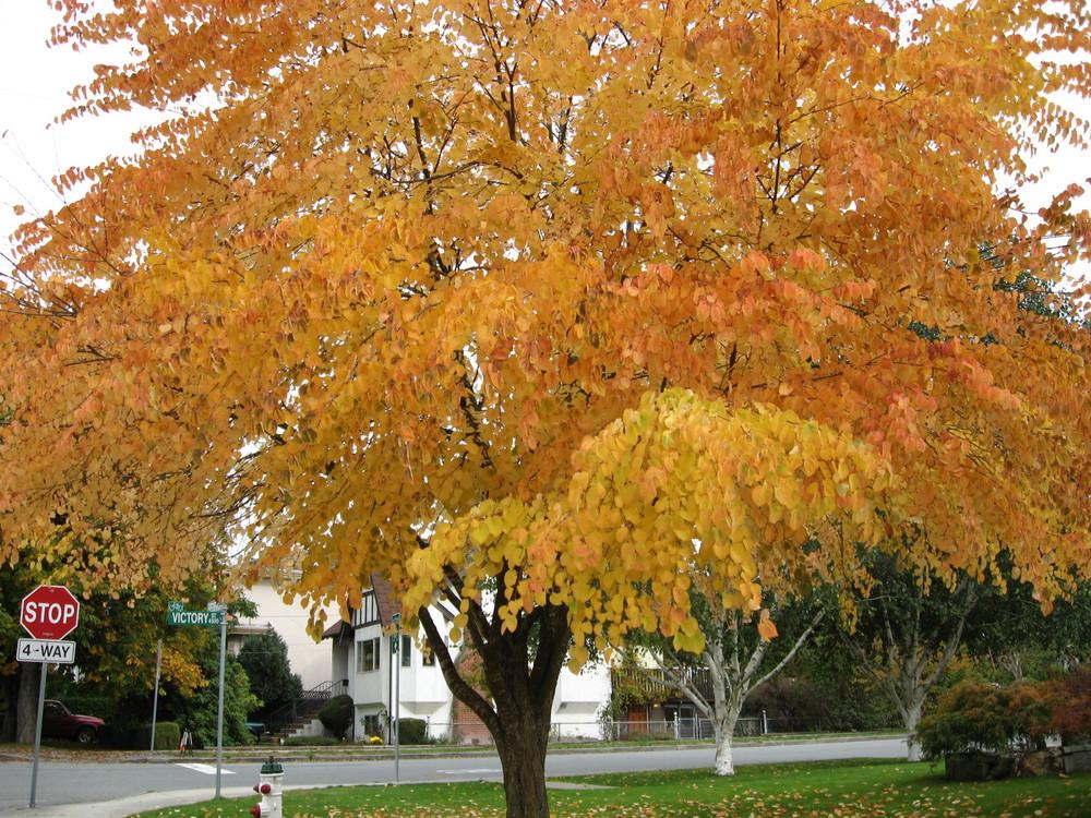 My favorite fall tree