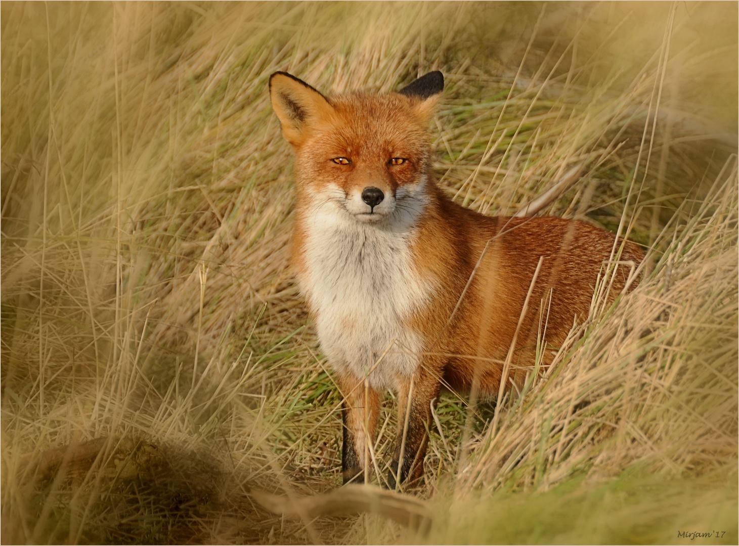 My fox friend ..