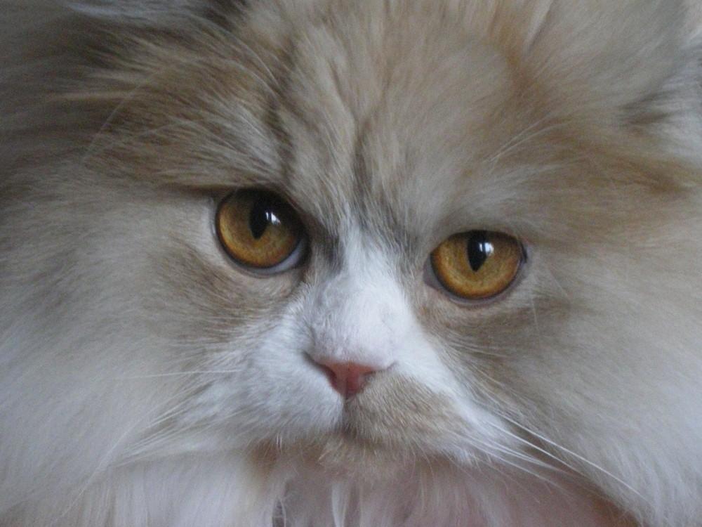 My friend's Persian cat