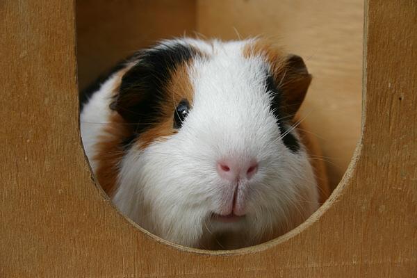 my guinea pig
