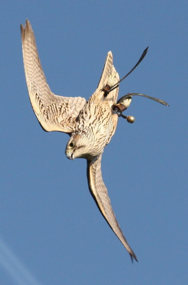 my gyr x peregrine falcon