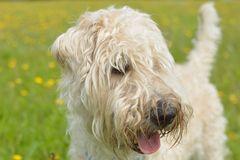 """my """"Irish soft coated wheaten Terrier"""""""