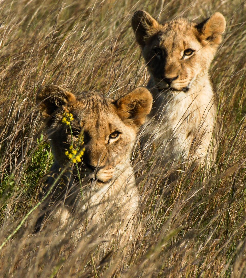 My Lions-Little Lion Kings